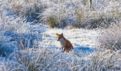 Frosty Fox  2 (Margaret S.S) Tags: winter frost red fox reeds