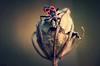 Derniers rayons (jade_or89) Tags: gendarme insecte nature macro macrophoto macrophotographie bokeh