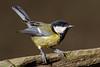034.jpg (Kico Lopez) Tags: miño lugo spain feeder galicia birds parusmajor aves carbonerocomún rio