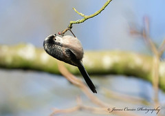 Hanging Around!! ... Explore 14-1-18 # 51 (Jim Crozier) Tags: longtailedtit canoneos1dx canon300mmf28