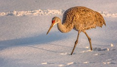 Making Tracks (Wes Iversen) Tags: antigonecanadensis brighton gruscanadensis hww kensingtonmetropark michigan milford sandhillcrane sandhillcranes tamron150600mm wingwednesday birds nature snow wildlife winter