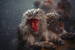 Is It Snow? (moaan) Tags: yamanouchi nagano japan monkey snowmonkey japanesemacaque snow snowfall bathingmonkey onsen hotsprings jigokudani jigokudanispa jigokudanisnowmonkeypark animal domesticanimal dof bokeh bokehphotography canoneos5dmarkiii zeissmakroplanart2100ze utata 2018 makroplanart2100