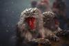 Is It Snow? (moaan) Tags: yamanouchi nagano japan monkey snowmonkey japanesemacaque snow snowfall bathingmonkey onsen hotsprings jigokudani jigokudanispa jigokudanisnowmonkeypark animal domesticanimal dof bokeh bokehphotography canoneos5dmarkiii zeissmakroplanart2100ze planar2100 utata 2018