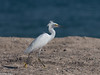 Snowy Egret (brian eagar - very busy - not much time to comment) Tags: mexico cabopulmo baja nature wildlife outdoor outside january 2018 january2018 warmth sun escape vacation getaway