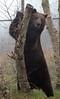Brown bear Hoenderdaell BB2A3931 (j.a.kok) Tags: beer bear bruinebeer brownbear hoenderdaell ursus mammal animal omnivore zoogdier dier predator
