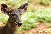 Deer Safari, Anna Zoological Park (rvk82) Tags: 2016 animals annazoologicalpark chennai deer india june2016 nikkor200500mm nikon nikond500 photography rvk rvkphotography southindia vandalur vandalurzoo wildlife rvkonlinecom rvkphotographycom tamilnadu in