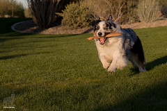 4/52 Who's Zoomin' Who? (Jasper's Human) Tags: aussie 52weeksfordogs australianshepherd dog zoom stick run fun