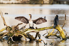 Hanging out to dry (DavidHowarthUK) Tags: london hydepark december 2017 cormorant phalacrocoraxcarbo