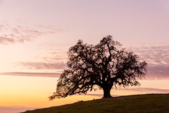 Sunset in San Jose Hills (Bryan Nabong) Tags: san jose california sanjose southbay siliconvalley hills tree shadow silhouette solotree sunset