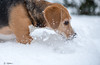 Febee (Guillaume7762) Tags: beagle neige chien dog chasse tricolore joie