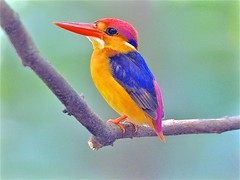 Mr. Rainbow: Blackback Kingfisher (Ric Seet.) Tags: olyem1 300f4 blackback kingfisher