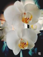 white orchids (Ola 竜) Tags: orchids white flowers macro orchid flower blue vignette dof focus samsunggalaxys7 floralcomposition yellow petals nature bouquet indoors