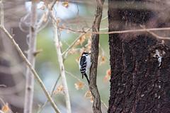 arcadia2018-117 (gtxjimmy) Tags: nikond7200 nikon d7200 tamron 150600mm bird new england arcadia wildlife sanctuary audubon society mass audubbon massachusettseasthamptonbird woodpecker hairywoodpecker