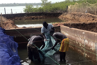 Floating cages, hidden treasures: smart fish farming in Guinea-Bissau