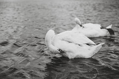 Pair of Swans (Hattifnattar) Tags: swans galway ireland bw monochrome bokeh pentax dfa2470mm