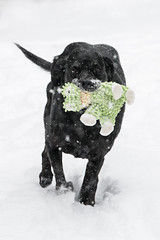 Bella in the Snow (MichellePhotos2) Tags: bella rottweiler large breed puppy dog canine pet domestic snow winter michigan westmichigan nikon d850 nikond850