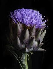 Purple Artichoke Flower (Bill Gracey 18 Million Views) Tags: sandiegocountyfair delmar darkbackground lastoliteezbox softbox sidelighting artichoke fleur flower flor yongnuo yongnuorf603n nature naturalbeauty