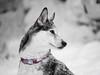 a touch of winter (d@neumi) Tags: schlittenhund siberianhusky siberian husky hund dog animal tier bw monochrome colorkey colourkeying schnee snow dof tiefenschärfe bokeh