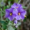 Solanum umbelliferum, BLUE WITCH (openspacer) Tags: bluewitch flower jasperridgebiologicalpreserve jrbp solanaceae solanum