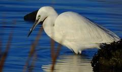 Little Egret (Egretta garzetta) (Nick Dobbs) Tags: tide estuary wader little egret egretta garzetta bird dorset river ardeidae animal water sea