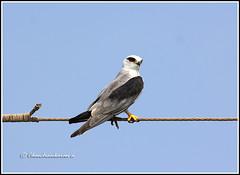 7635 - black shouldered kite (chandrasekaran a 50 lakhs views Thanks to all.) Tags: blackshoulderedkite kite birds nature india sharroad pulicatlake ap canon60d