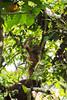 Swinging orangutan (Xnalanx) Tags: ape asia borneo environment malaysia mammals orangutan places plants sandakan sepilokorangutanrehabilitationcentre trees wildlife
