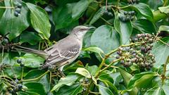 Northern Mockingbird (Bob Gunderson) Tags: birds california fortmason northerncalifornia northernmockingbird sanfrancisco