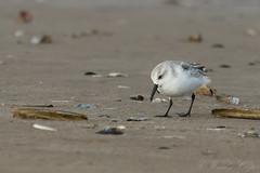 Sanderling-3475 (WendyCoops224) Tags: 100400mml 80d norfolk rspbtitchwell canon coast eos ©wendycooper sanderling