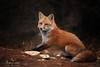The Old Man (Megan Lorenz) Tags: redfox fox animal mammal nature wild wildlife wildanimals autumn fall algonquinprovincialpark ontario canada mlorenz meganlorenz