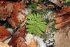A little greenery poking out through the forest floor (BSendelbach) Tags: plants winter snowcovered fern leaves snow moss forestfloor