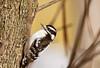 Downy Woodpecker (brendacyr) Tags: nature smallbirds winter downy woodpecker