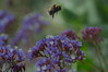 In flight (Miss Basil85) Tags: wellington wellingtonbotanicgardens northisland nz newzealand bee nature macro flower purple summer nikon d3200