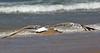 vuelo bajo (/JuanAntonio/) Tags: agua andalucía pajaros naturaleza nature puntaumbria seascape seagull gaviota tamron70300vcd