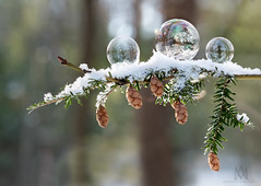 3 bubbles (marianna_a.) Tags: 3 three soap bubbles freezing conifer branch cones bokeh nature forest woods arboretum mariannaarmata abstract winter fun 2018 sundaylights