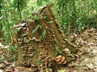 Tree stump covered in fungi, Trinidad