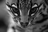 THE LOOK  ! (carlo612001) Tags: ocelot look eyes wild blackandwhite black white