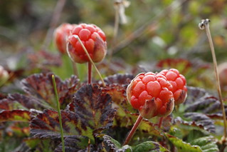 Close-up of cloudberries found on the tundra with blurred background found in Canada's Arctic