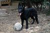 DSC_0296 (Charlotte Hoberg) Tags: german shepherd belgian malinois mondioring ipo schutzhund dog dogs cute training black fawn while rottweiler pit bull boxer lab labrador