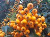 Pyracantha coccinea (Iggy Y) Tags: pyracanthacoccinea pyracantha coccinea summer blossom berry orange color berrys fruit green leaves nature park plant vatrenitrn firethorn day light