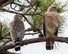 01-22-18-0000378 (Lake Worth) Tags: animal animals bird birds birdwatcher everglades southflorida feathers florida nature outdoor outdoors waterbirds wetlands wildlife wings