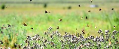 Butterfly bonanza. (pstone646) Tags: butterflies nature insects flying wildlife animals bokeh elmley kent fauna