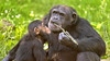 In Your Face! (032691) (Mike S Perkins) Tags: dafina kczoo chimpanzee face child infant nuisance stick mouth looking kansascity milo