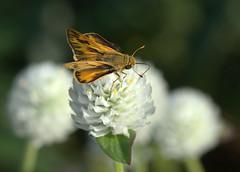 How to melt snowballs (KsCattails) Tags: butterfly fiery fieryskipper insect kscattails male overlandparkarboretum skipper gomphrena white globe snowball amaranth