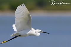 Egrets @ Pulicat Lake, India (rvk82) Tags: 2018 birdsanctuary birds february february2018 india nikkor200500mm nikon nikond850 pulicat pulicatbirdsanctuary pulicatlake rvk rvkphotography raghukumar raghukumarphotography southindia tamilnadu wildlife rvkonlinecom rvkphotographycom andhrapradesh in