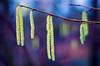 (ErrorByPixel) Tags: violet blue green f18 pentaxda smc 50mm 5018 errorbypixel k5 pentax pentaxk5 blur bokeh colours colors nature pentaxart corylus avellana