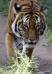 Malayan tiger (ucumari photography) Tags: ucumariphotography naples florida zoo january 2018 malayantiger pantheratigrisjacksoni animal mammal cat dsc5954 specanimal
