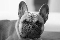 Vicky (Guido Barberis) Tags: vicky french francese bulldog bouledogue dog per cane cagnolino sweet