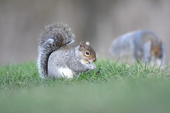 my precious (Paul Wrights Reserved) Tags: squirrel squirrels bokeh tail eye cute beautiful beauty nature naturephotography wildlife wildanimal animal grass low lowview dreamy mammal mammals eating