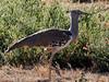 20170723-155026-00308B-co (hugoholunder) Tags: botswana afrika okovangodelta kori gröstervogel