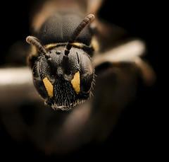 Hylaeus sparsus, f, face, Shenandoah, VA_2017-07-19-16.32.00 ZS PMax UDR (Sam Droege) Tags: zerenestacker stackshot geologicalsurvey unitedstatesgeologicalsurvey departmentoftheinterior droege biml beeinventoryandmonitoringlaboratory bug bugs canon closeup macro insect patuxentwildliferesearchcenter pwrc usgs dofstacking stacking entomologist canonmpe65 taxonomy:binomial=hylaeussparsus animals animal bee bees apoidea hymenoptera pollinator nativebee entomology macrophotography shenandoahnationalpark shen virginia maskedbee